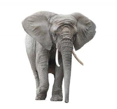 Sticker Afrikanische Elefanten isoliert auf weiß mit Beschneidungspfad