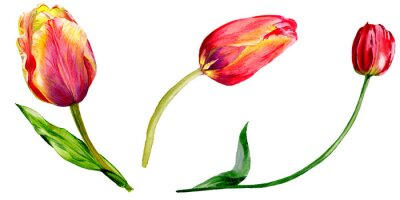 Sticker Amazing red tulip flower with green leaf. Isolated hand drawn botanical flower. Watercolor background illustration set.