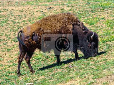 Sticker Amerikanischer Bison