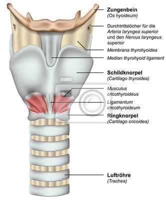 Anatomie kehlkopf mit deutsch lateinischer beschreibung, vektor ...