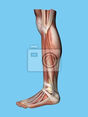 Anatomie seitliche seitenansicht des beines und des fußes eines ...