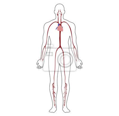Anatomische position-vorderansicht-körper-entwurfs-herz-und ...