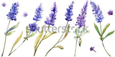 Sticker Aquarell lila Lavendelblüten. Floral botanische Blume. Getrenntes Abbildungelement. Aquarellwildflower für Hintergrund, Beschaffenheit, Verpackungsmuster, Rahmen oder Grenze.