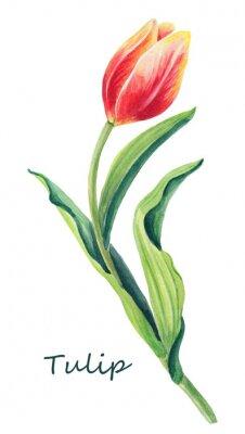 Sticker Aquarellblumenillustration von schöner eine Tulpe auf dem weißen Hintergrund. Nette Grußkarte Rote, gelbe, orange Blumen- und Grünblätter des Frühlinges Grußkarte für Frauen `s Tag.