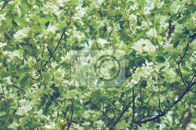.Background der blühenden Apfelbaum