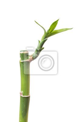 Bamboo isoliert auf weißem