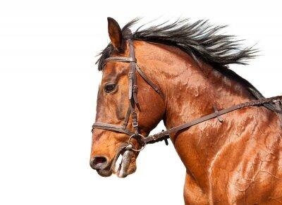 Sticker Bay Pferd im Profil auf einem weißen Hintergrund. Close-up.