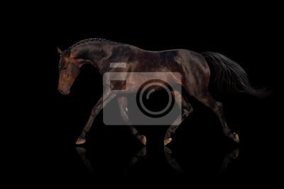 Bay Pferd isoliert auf schwarzem Hintergrund