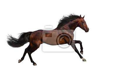 Bay Stallion laufen Galopp isoliert auf whte Hintergrund