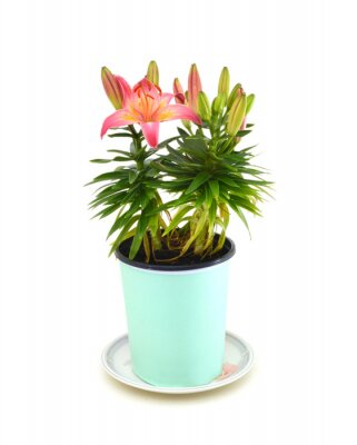 beautiful pink lily in pot isolated on white background