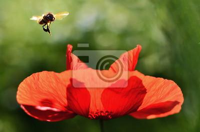 Bee ist über dem Poppy fliegen