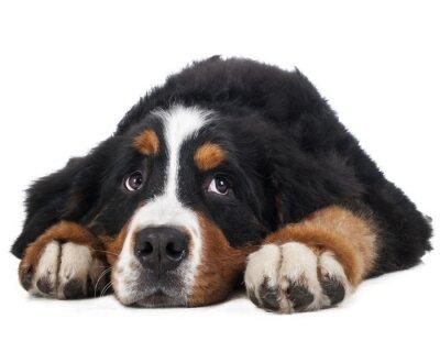 Sticker Berner Sennenhund auf einem weißen Hintergrund im Studio, trauriger Hund