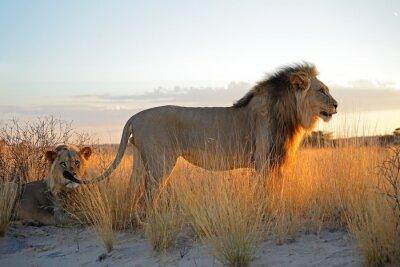 Sticker Big männlichen afrikanischen Löwen (Panthera Leo) in den frühen Morgenstunden Licht, Kalahari Wüste, Südafrika.