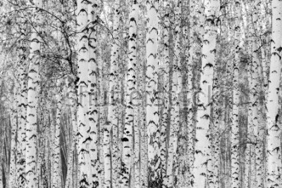 Sticker Birch forest winter landscape, black and white photo