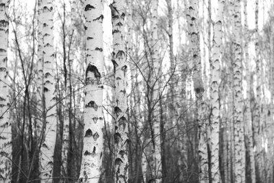 Sticker Birkenwald, Schwarz-Weiß-Foto