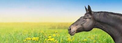 Sticker Black Horse auf Sommer Hintergrund mit Löwenzahn, Banner