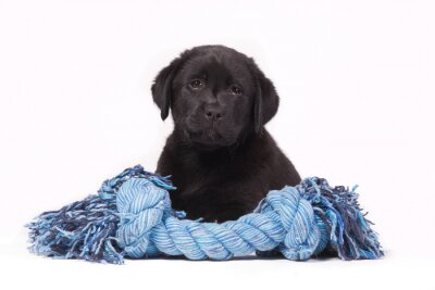 Black labrador puppy with a blue toy