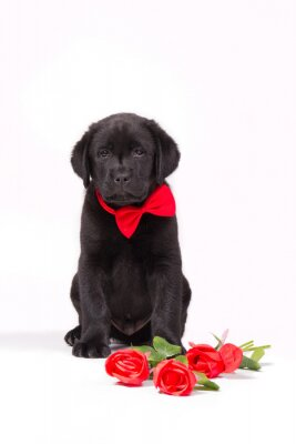 Black labrador puppy with red roses