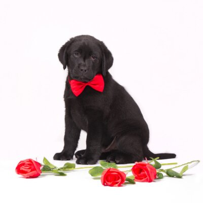Black labrador puppy with red roses and a red bow