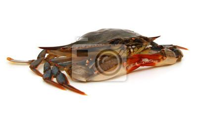 Blaue Krabbe mit weißem Hintergrund