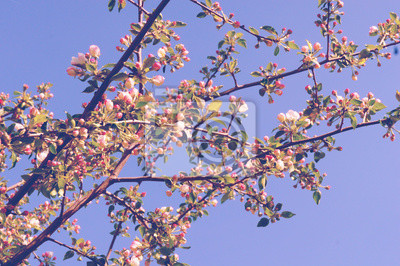 blooming apple tree on the Background of blue sky