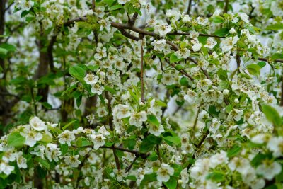 Blooming pear fruit tree during spring season with white blooms and green leaves
