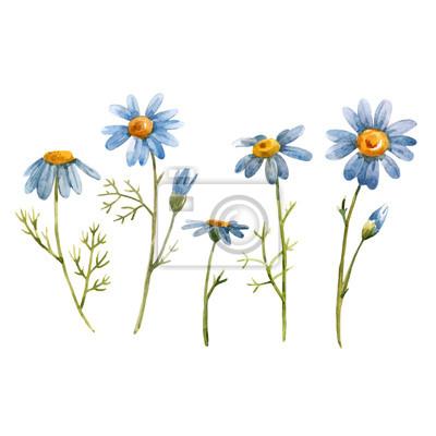 Blue chamomile daisy vector flower