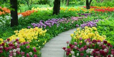 Sticker Blühende Tulpen im Garten
