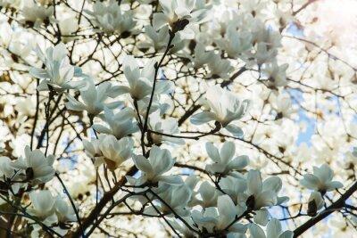 Sticker Blühende weiße Magnolienblüten im Frühjahr
