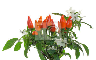 Blühende Zierpaprika isoliert auf weiß