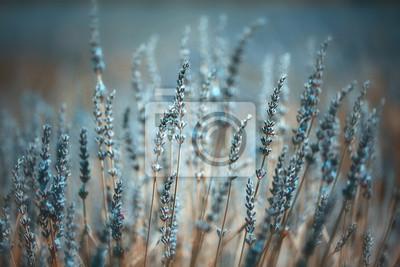 Sticker Blühender Lavendel des schönen künstlerischen farbigen Sommers pflanzt Nahaufnahmehintergrund. Blauer Farbfilter und selektiver Fokus benutzt.