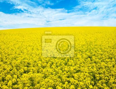 Blumen des Öls im Rapssamenfeld