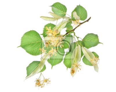 Blumen von Lindenbaum
