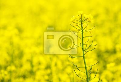 Blumen von Öl im Rapsfeld