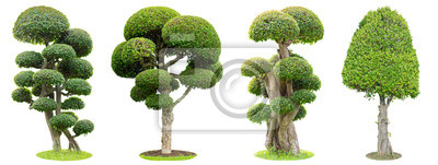Sticker Bonsai trees isolated on white background. Its shrub is grown in a pot or ornamental tree in the garden.