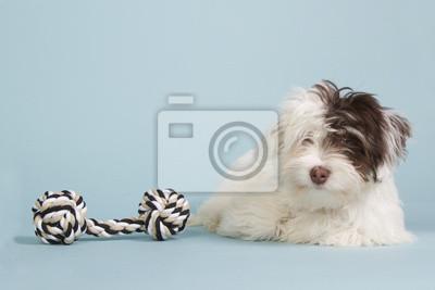 Boomer Welpen mit einem Hundespielzeug