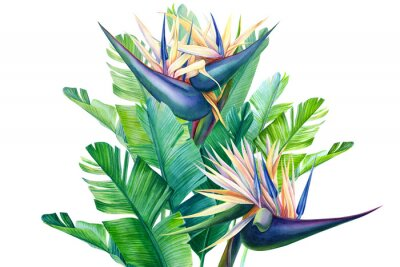 Sticker bouquet of tropical strelitzia flowers on a white background, watercolor illustration