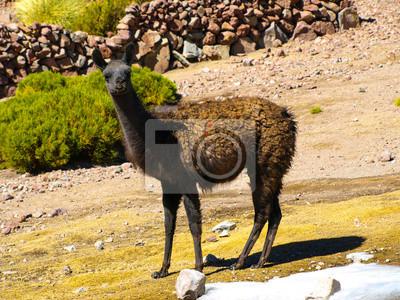 Sticker Brown Lama auf der Weide