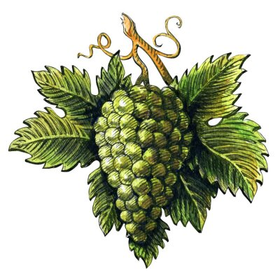 Sticker Bunch von reifen grünen Trauben, Aquarell Illustration, von Hand gezeichnet