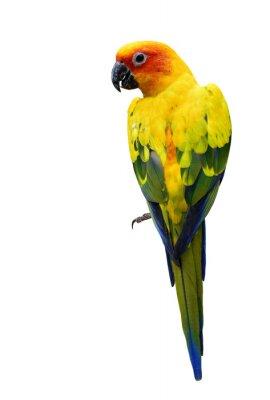 Sticker Bunte Sonnensittich, die schöne gelbe Papagei Vogel isoliert o