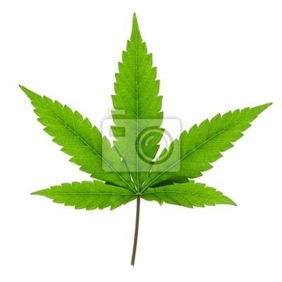 Cannabis Blatt auf weißem Hintergrund.