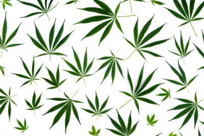Sticker Cannabis leaves of different sizes are isolated on a white background.