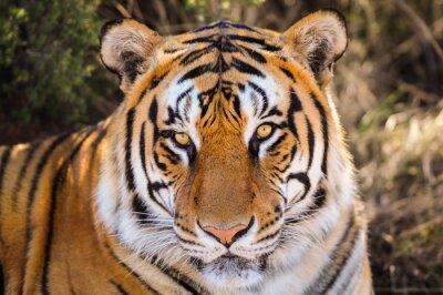 Sticker Closeup Portrait of a tiger