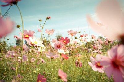 Sticker Cosmos Blume blühen im Garten