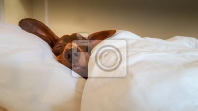 Sticker Dackel kuschelte sich an und schlief im menschlichen Bett.
