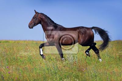 Dark horse Frühjahr Trab auf der grünen Wiese