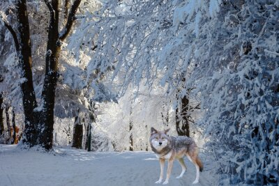 Sticker Der herrliche weiße polare Wolf kam zur Jagd