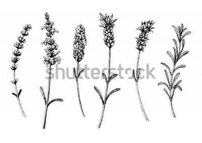 Sticker Die Lavendelblüten von Wild und Sorten. Vintage Blumensatz. Freihand gezeichnete Skizze. Vektor-illustration