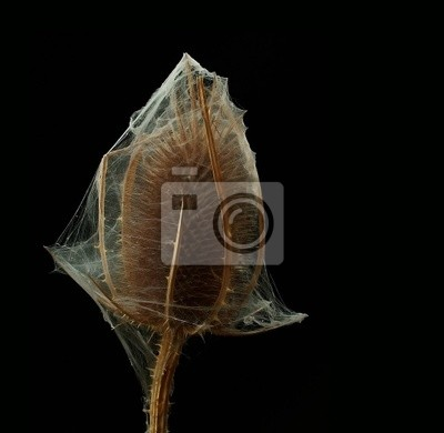 Distel im Spinnennetz