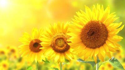 Sticker Drei helle gelbe Sonnenblumen